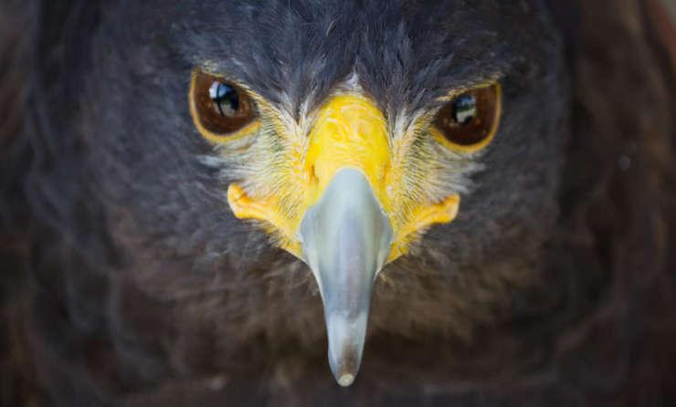 ave rapaz, águila, asociación, animales irrecuperables